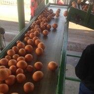 Touring a citrus farm in Arizona.