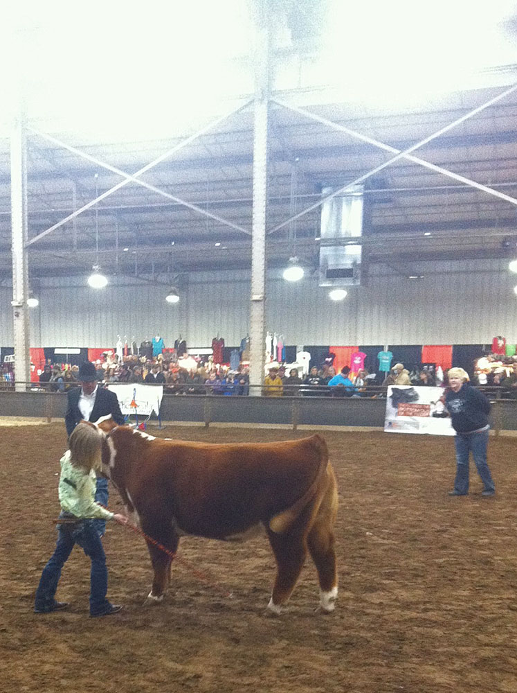 Kenda showing her miniature Hereford at the 2013 Oklahoma Youth Expo in Oklahoma City.